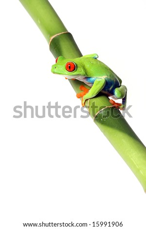 Curious Red-Eyed Tree Frog perching on Bamboo. - stock photo