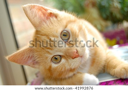 Curious red kitten watching you - stock photo