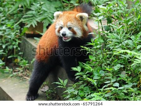 Curious red panda - stock photo