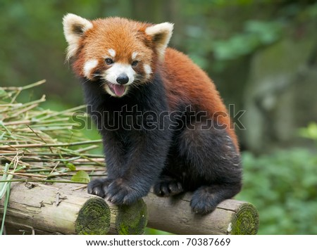 Curious red panda - stock photo