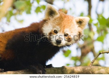 Curious red panda climbing in a tree - stock photo