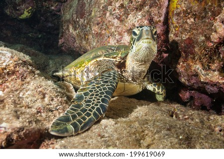 Curious Resting Sea Turtle Close Up - stock photo