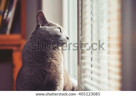 Curious russian blue cat at the home - stock photo