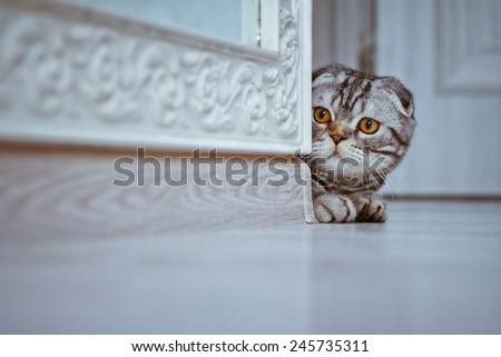 Curious Scottish Fold Cat looking around the corner of a wall  - stock photo