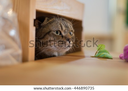 Curious Scottish Fold kitty cat sniffing its toy - stock photo