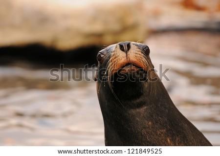 curious seal - stock photo
