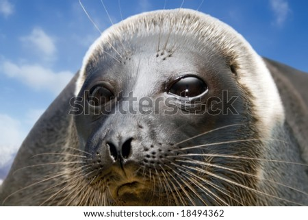 Curious seal.  Unique (endemik) the inhabitant of the deepest lake in the world - Baikal