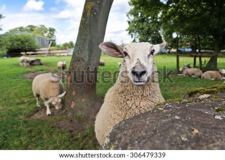 curious sheep - stock photo
