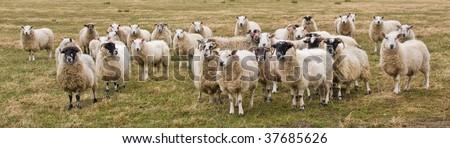 Curious Sheep in Scotland - stock photo