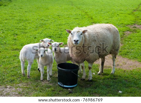 curious sheep with three lambs watching the photographer - stock photo