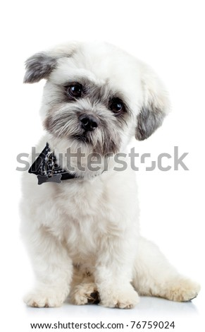 curious small bichon havanese puppy looking at the camera