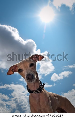 Curious small dog - breed is italian greyhound - looks in camera against a sun and blue cloud sky - stock photo