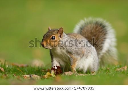 Curious squirrel - stock photo