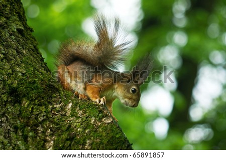 curious squirrel looking for something in the forest - stock photo
