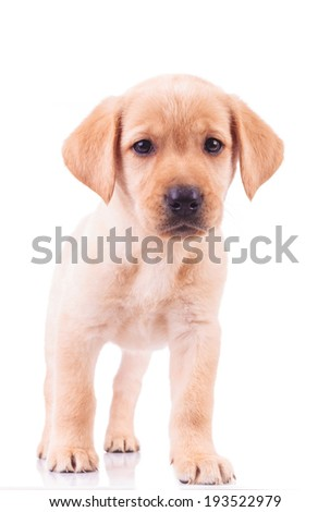 Curious standing labrador retriever puppy dog looking at the camera - stock photo