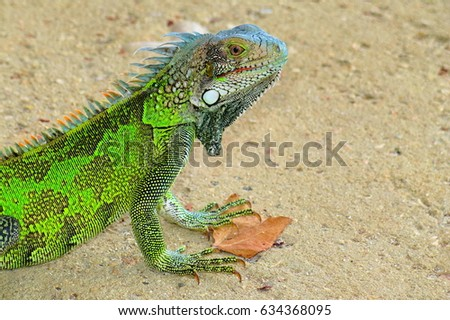 Curious sweet bright green iguana lizard on the sandy beach. Exotic vacation beach scene with local wildlife. Small lizard with dragon skin. Iguana head and body detail with natural pattern.