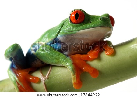 Curious Tree Frog isolated on white background. - stock photo