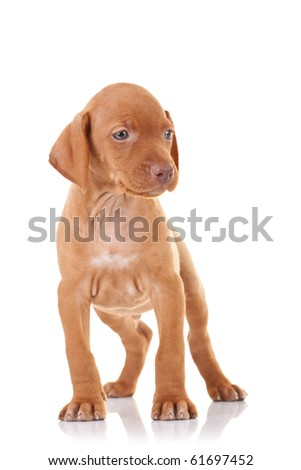 curious vizsla puppy standing on a white background - stock photo