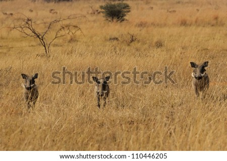 Curious Warthog siblings in a row. - stock photo