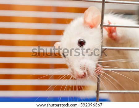 Curious white rat looking out of a cage (shallow DOF, selective focus on the rat nose)