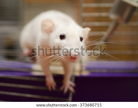 Curious white rat trying to escape from a cage (shallow DOF, focus on the rat nose) - stock photo