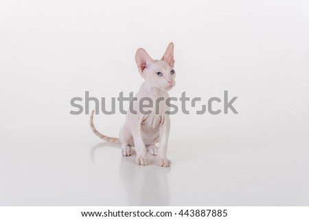 Curious White Very Young Peterbald Sphynx Cat Sitting on the white table with reflection. Looking Right