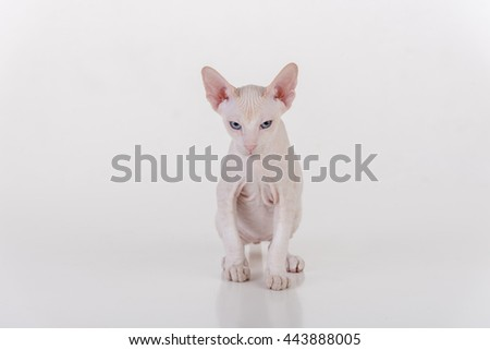 Curious White Very Young Peterbald Sphynx Cat Sitting on the white table with reflection. Ready to Attack - stock photo