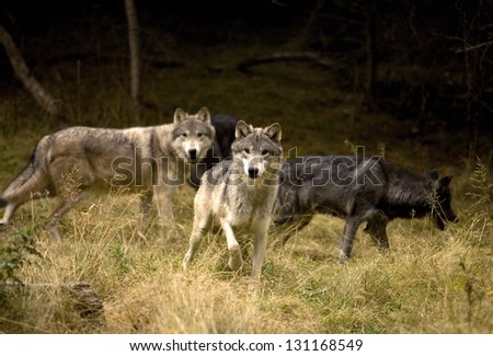 Curious Wolves in field - stock photo
