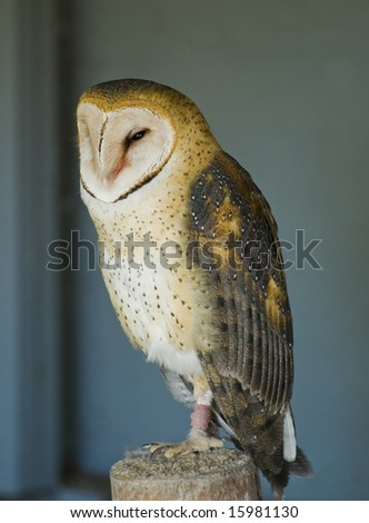 Curious young barn owl standing on a post