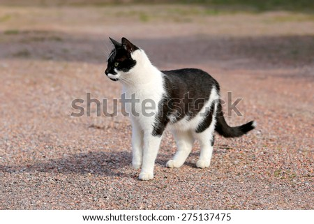 Curious, young black and white cat is standing on a yard and paying attention.  - stock photo