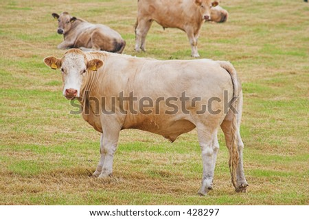Curious young bullocks look into the camera - stock photo
