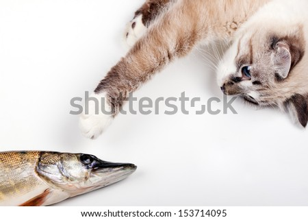curious young cat playing with a freshly caught fish.Neva Masquerade  cat - stock photo