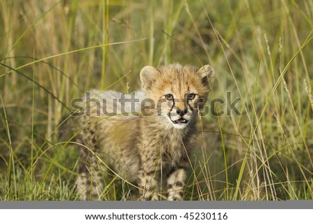 Curious young cheetah cub looks into camera - stock photo