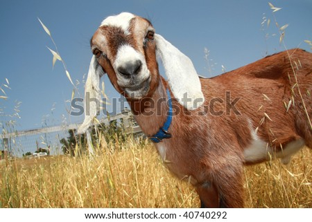 Curious young Nubian goat standing in a wheat field. - stock photo