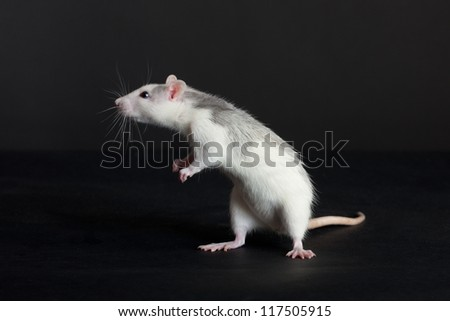 curious young rat on a black background