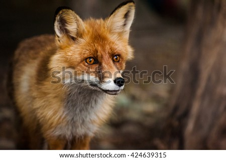 curious young red fox portrait close up - stock photo
