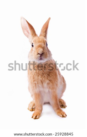 Curious young red rabbit isolated on white background