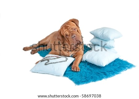 Curiuos dog lying on blue carpet with pillows and jewelry - stock photo