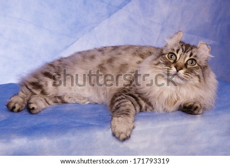 Curl ear cat lying down on blue background with paw forward - stock photo