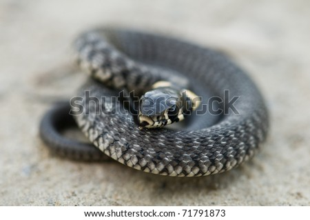 curled grass snake close up - stock photo