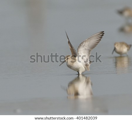 Curlew sandpiper is a winter visitor bird in Thailand - stock photo