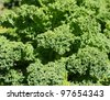 Curly kale cabbage - stock photo