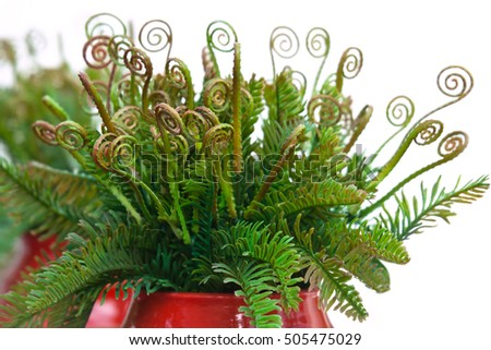 Curly leaves of fern in red ceramic vase on white background