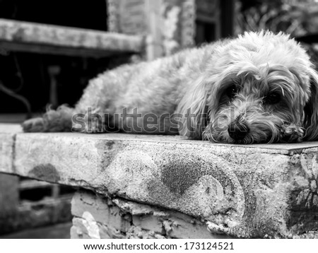 Curly terrier dog lying on the floor feeling sad - stock photo