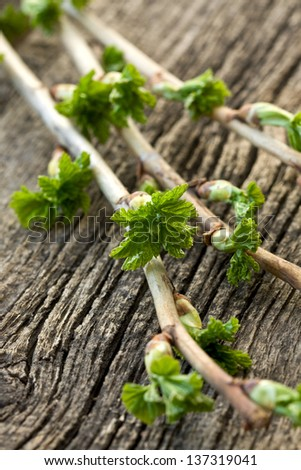 Currant branch with buds on the old wooden background - stock photo