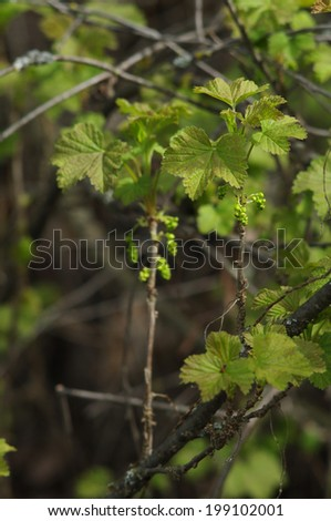 Currant branch with new leaves - stock photo