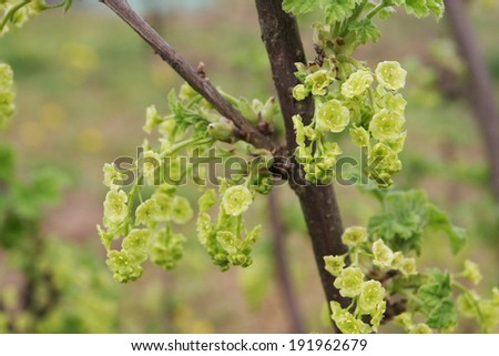 currant flowers - stock photo