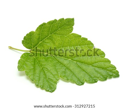 Currant tree leaf isolated on white background - stock photo