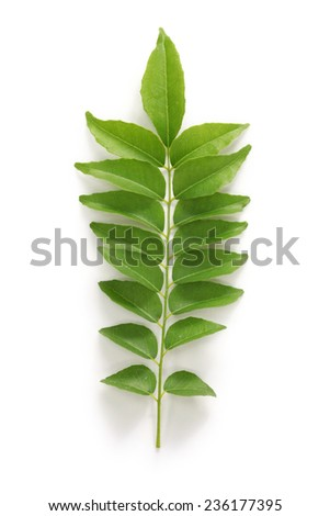 curry leaf, curry tree - stock photo