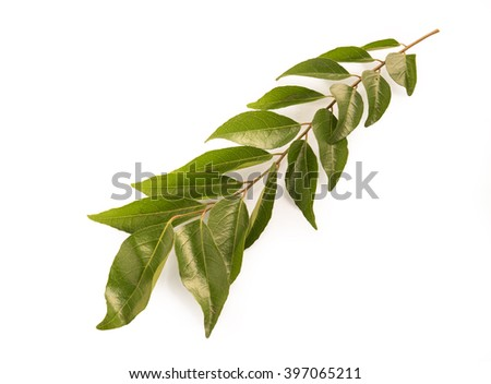 curry leaf isolated on a white background